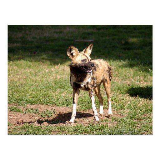 Postal africana del perro salvaje (7x5)