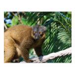 Postal agarrada del Lemur