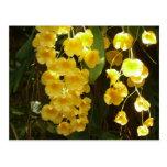 Postal amarilla colgante de las orquídeas