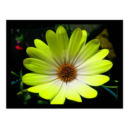 Postal amarilla fluorescente de la margarita afric