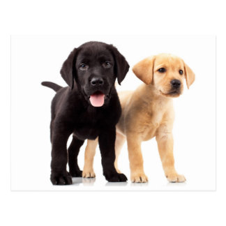 Postal amarilla y negra del perrito del labrador