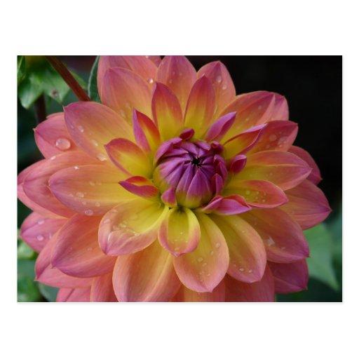 Postal amarilla y rosada de la flor