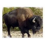 Postal americana del búfalo