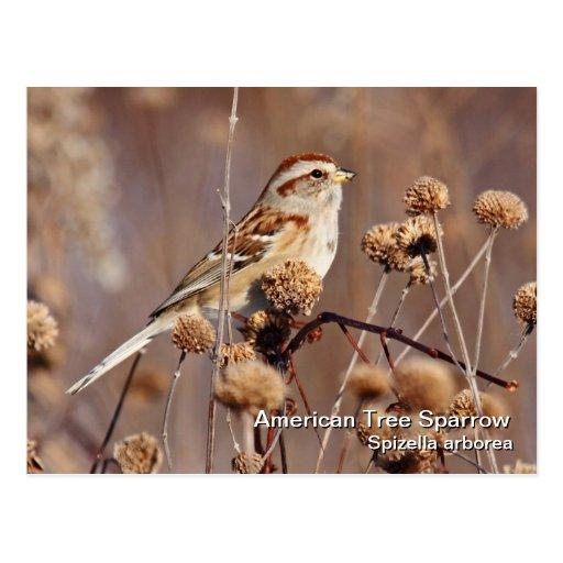 Postal americana del gorrión de árbol