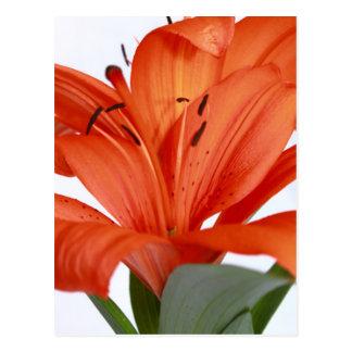 Postal anaranjada brillante del perfil del lirio t