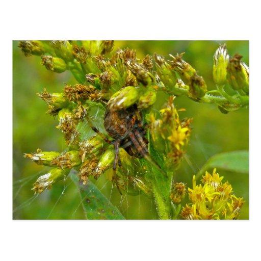 Postal anaranjada de la araña del Araneus de Brown
