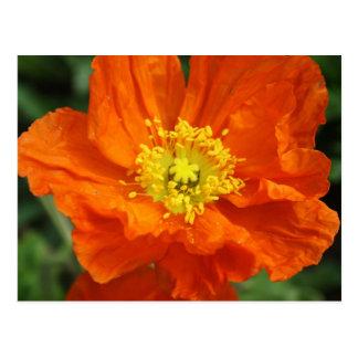Postal anaranjada de la flor de la amapola