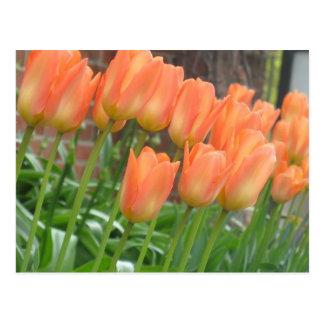 Postal anaranjada de los tulipanes