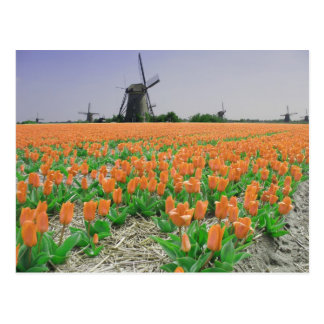 Postal anaranjada de los tulipanes de los molinoes