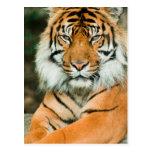 Postal anaranjada del tigre