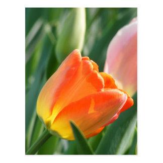Postal anaranjada del tulipán -- Espacio en blanco