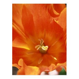 Postal anaranjada del tulipán