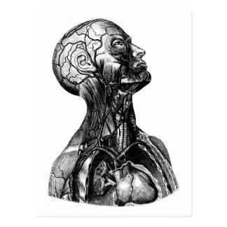 Postal anatómica del dibujo del torso
