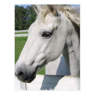 Postal árabe blanca del caballo