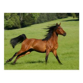 Postal árabe corriente del caballo