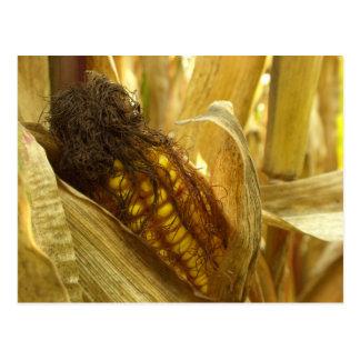 Postal ascendente cercana del maíz