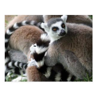 Postal atada anillo de los Lemurs