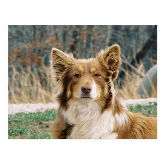 Postal australiana del perro de pastor