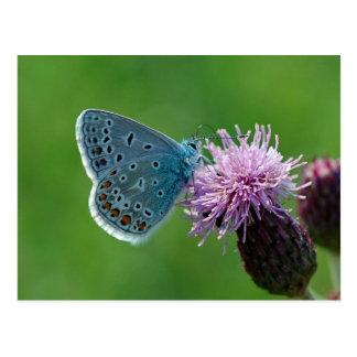Postal azul común de la mariposa