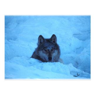 Postal azul del lobo de madera de la nieve