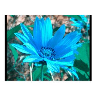 Postal azul salvaje del girasol