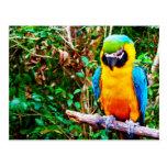 Postal Azul-y-Amarilla del Macaw