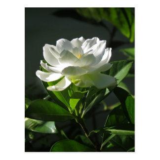 Postal blanca 2 del flor del Gardenia