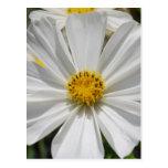 Postal blanca de la flor del cosmos