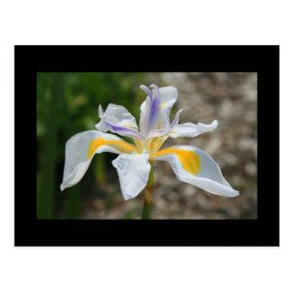 Postal blanca de la flor del iris de la mariposa