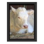 Postal blanca de la vaca