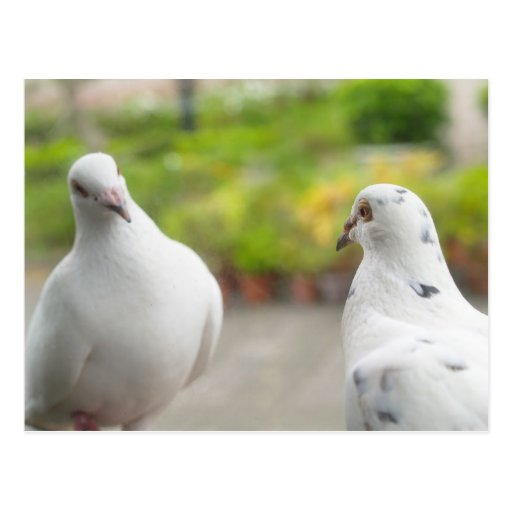 Postal blanca de las palomas
