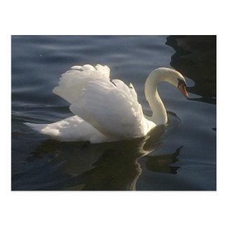 Postal blanca del cisne