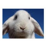 Postal blanca del conejo del Lop