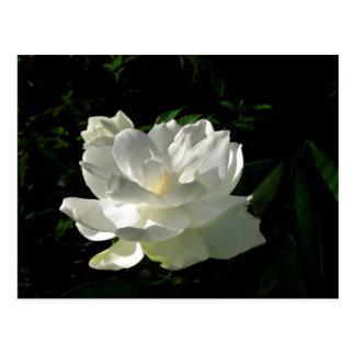 Postal blanca del flor del Gardenia