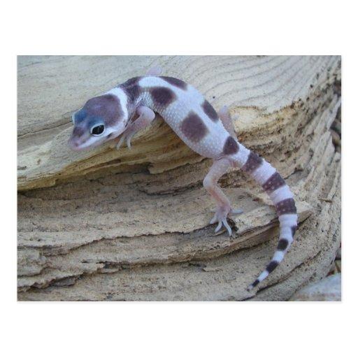 Postal blanca del Gecko del leopardo