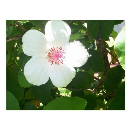 Postal blanca del hibisco