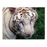 Postal blanca del tigre