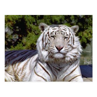 Postal blanca del tigre 9