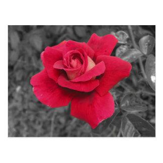 Postal blanca negra del rosa rojo