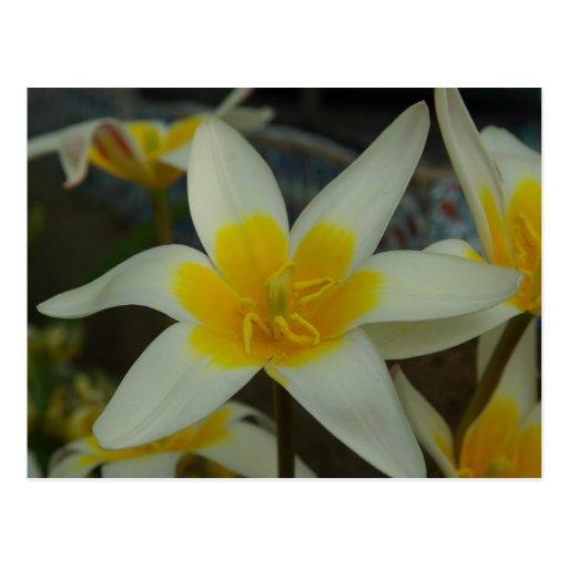 Postal blanca y amarilla de la flor