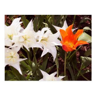 Postal blanca y anaranjada de los tulipanes