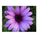 Postal bonita de la flor del aster