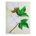 postal botánica de la cápsula del algodón
