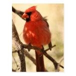 Postal cardinal roja