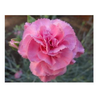 Postal--Clavel rosado
