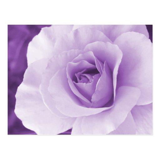 Postal color de rosa púrpura
