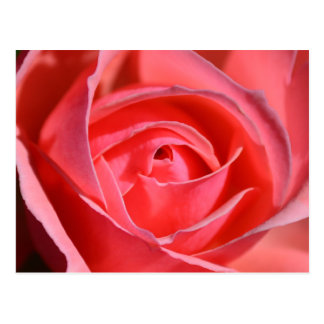 Postal color de rosa rosada brillante