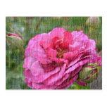 Postal color de rosa y color de rosa de los brotes