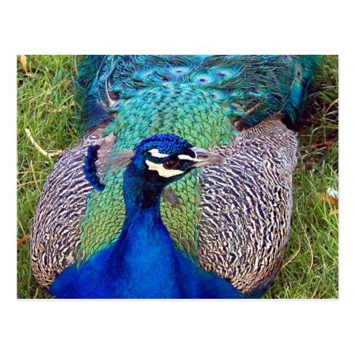 Postal colorida del Peafowl