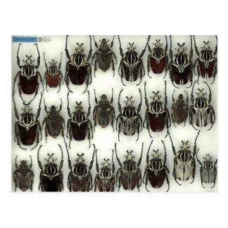 Postal con los escarabajos de Goliat